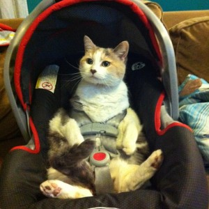 cat-car-seat-baby-strapped-in-car-1358257476o